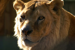 Leeuwin royalty-vrije stock foto