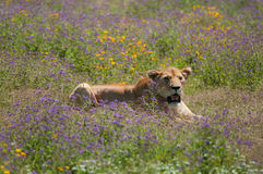 Leeuwin bij Ngorongoro-krater, Tanzania, Afrika Royalty-vrije Stock Foto's