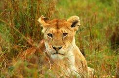 Leeuwin in de wildernis Stock Foto
