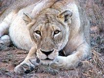 Leeuwin die bij camera staart Stock Foto