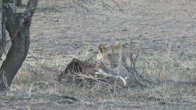 Leeuwin die de overblijfselen van een antilopemoeras van onder de takken onder een boom een hete avond neemt stock footage