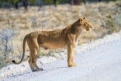 Leeuwin die een weg in het Nationale Park van Etosha, Namibië, Afrika kruisen Royalty-vrije Stock Foto