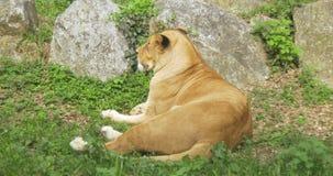 Leeuwin die gras leggen stock videobeelden