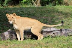 De aardvraag van de leeuwin Stock Afbeelding