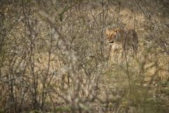 Leeuwin die onder struiken van de Afrikaanse savanne lopen nafta stock fotografie