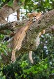Leeuwin die op een grote boom liggen Close-up oeganda 5 maart 2009 Stock Afbeeldingen