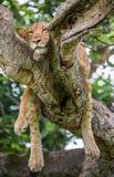 Leeuwin die op een grote boom liggen Close-up oeganda 5 maart 2009 Royalty-vrije Stock Afbeeldingen