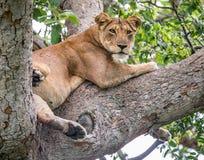 Leeuwin die op een grote boom liggen Close-up oeganda 5 maart 2009 Royalty-vrije Stock Fotografie