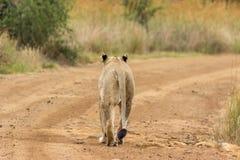 Leeuwin die op een landweg lopen stock foto's