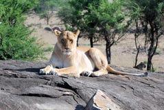 Leeuwin die op een rots die in de camera liggen eruit zien stock foto