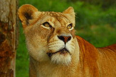 Leeuwin die prooi zoekt royalty-vrije stock afbeeldingen