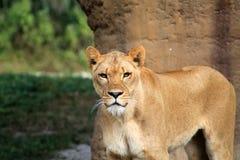 Leeuwin die oogcontact opnemen Stock Fotografie