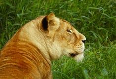 Leeuwin die terug eruit ziet stock foto