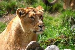 Leeuwin die van de zon genieten Stock Afbeelding