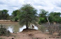 Leeuwin die Vijver in het Nationale Park van Kruger overzien Stock Foto's