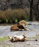 Leeuwin die voor leeuw rolt Royalty-vrije Stock Foto