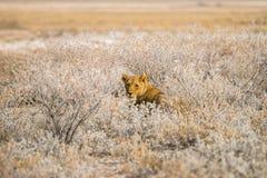 Leeuwin in een hinderlaag stock foto's