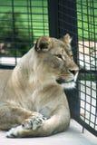 Leeuwin in een Kooi Royalty-vrije Stock Fotografie