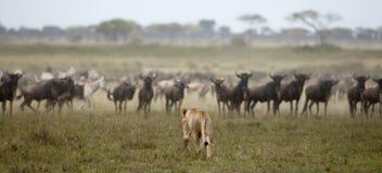 Leeuwin en kudde van het meest wildebeest in Serengeti Stock Afbeelding