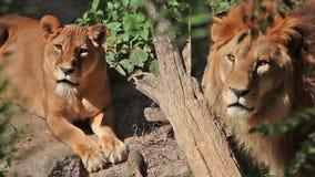 Leeuwin en leeuw stock footage