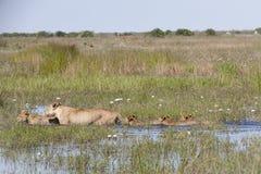 Leeuwin en Vier Welpen die door Water ploeteren Royalty-vrije Stock Foto's