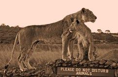 Leeuwin en welp op \ Stock Afbeelding