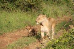 Leeuwin en welp (pantheralio) Royalty-vrije Stock Foto's