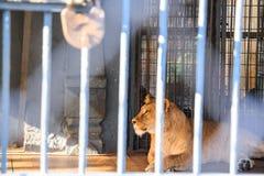 Leeuwin in gevangenschap in dierentuin achter de tralies stock foto