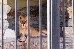 Leeuwin in gevangenschap in een dierentuin achter de tralies Macht en agressie in de kooi royalty-vrije stock afbeelding