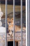 Leeuwin in gevangenschap in een dierentuin achter de tralies Macht en agressie in de kooi royalty-vrije stock foto's