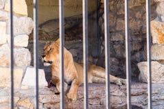 Leeuwin in gevangenschap in een dierentuin achter de tralies Macht en agressie in de kooi royalty-vrije stock afbeeldingen