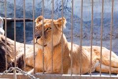 Leeuwin in gevangenschap in een dierentuin achter de tralies Macht en agressie in de kooi stock foto's