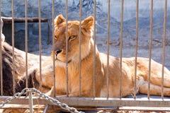 Leeuwin in gevangenschap in een dierentuin achter de tralies Macht en agressie in de kooi stock foto
