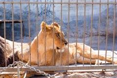 Leeuwin in gevangenschap in een dierentuin achter de tralies Macht en agressie in de kooi stock afbeeldingen