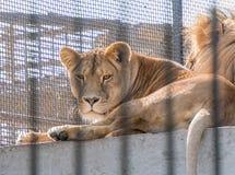 Leeuwin in gevangenschap in een dierentuin achter de tralies Macht en agressie in de kooi stock afbeelding