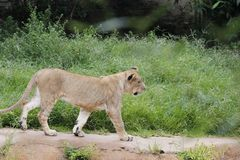 Leeuwin het lopen Royalty-vrije Stock Afbeelding