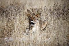 Leeuwin - het Nationale Park van Etosha - Namibië Royalty-vrije Stock Afbeelding