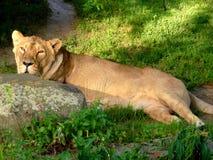 Leeuwin het rusten Royalty-vrije Stock Foto's