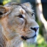 Leeuwin hoofd dichte omhooggaand Stock Foto's
