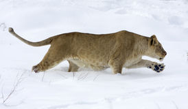 Leeuwin/leo Panthera stock foto
