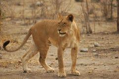 Leeuwin (leo Panthera) Royalty-vrije Stock Afbeelding