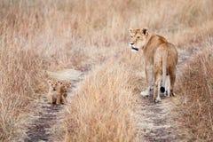 Leeuwin met een paar jonge welpen Royalty-vrije Stock Afbeeldingen