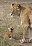 Leeuwin met haar baby Royalty-vrije Stock Foto's