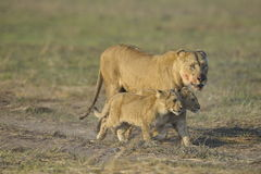 Leeuwin na de jacht met welpen. Royalty-vrije Stock Afbeelding