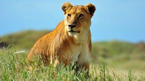 Leeuwin in Nationaal Park Serengeti Royalty-vrije Stock Afbeeldingen