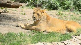 Leeuwin onder de zon stock footage