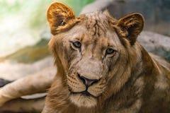 Leeuwin op de rots royalty-vrije stock foto
