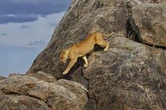 Leeuwin op de rotsen, Serengeti Stock Foto's