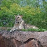 Leeuwin op een heuvel Stock Foto