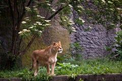 Leeuwin op het gras stock fotografie
